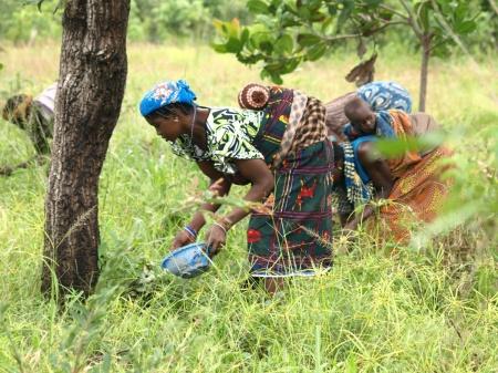 Una mujer recoge karité en África. Foto Irene H-Sanjuan-Manos Unidas